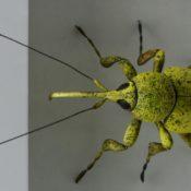 Ross de Wayne Campbell, Rüsselkäfer hellgrün