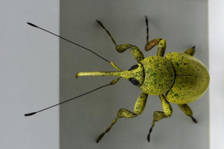 Rüsselkäfer, hellgrün Ross de Wayne Campbell