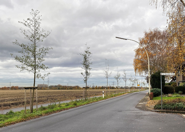 Baumreihe an der Carl-Goerdeler-straße Richtung Ortsausgang Bachem